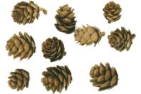 Pommes de pins - Pommes de pin et brindilles - 10doigts.fr
