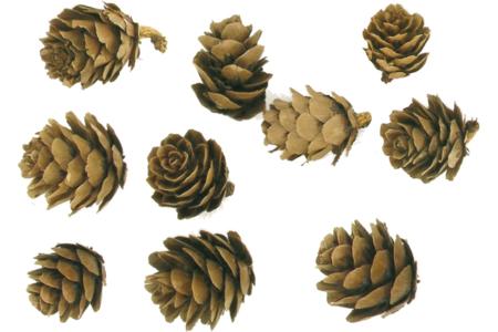 Pommes de pins - Pommes de pin et brindilles – 10doigts.fr
